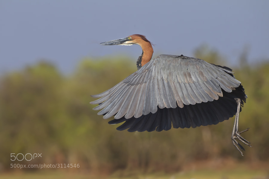 A Goliath Heron takes off from the shores of Kake Kariba, Matusadona National Park, Zimbabwe