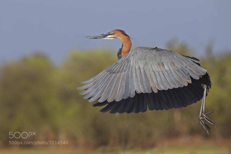 A Goliath Heron takes off from the shores of Kake Kariba, Matusadona National Park, Zimbabwe