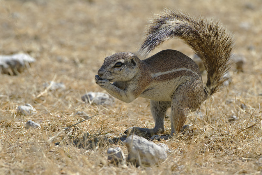 A Ground Squirrel, poses typicallu in the harsh heat of Etosha National Park, Namibia
