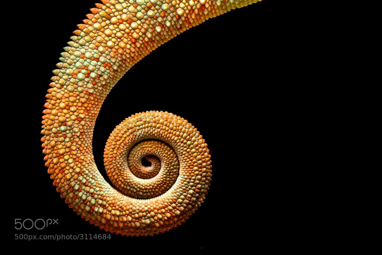 Photograph Chameleon Tail by Mark Bridger on 500px