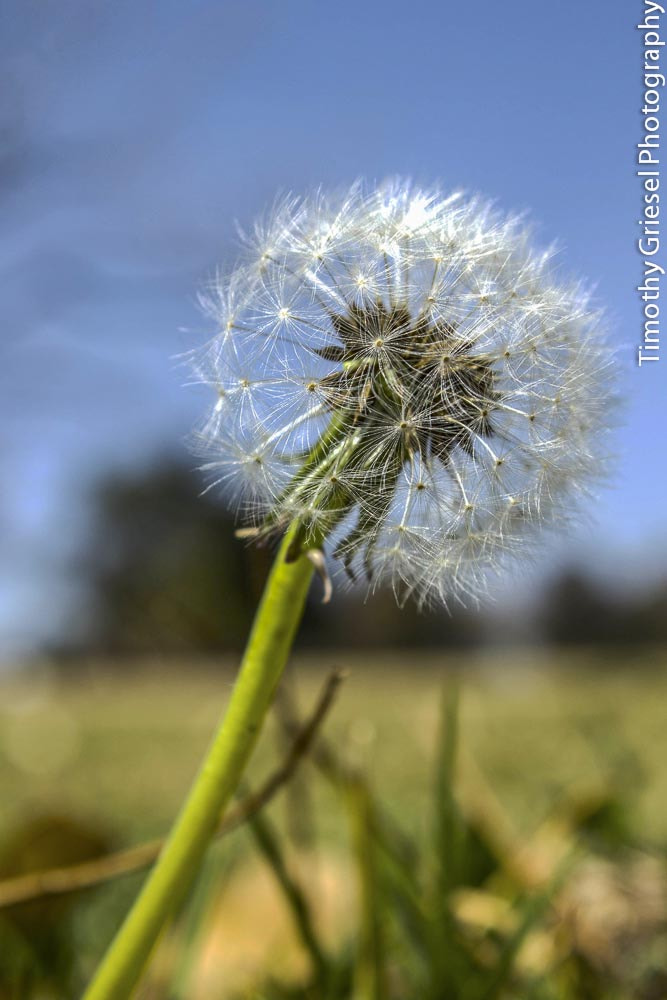 Photograph Dandelion by Timothy Griesel on 500px