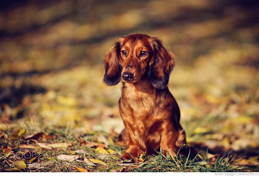 Photograph Dachshund Autumn Portrait by Artem Sapegin on 500px