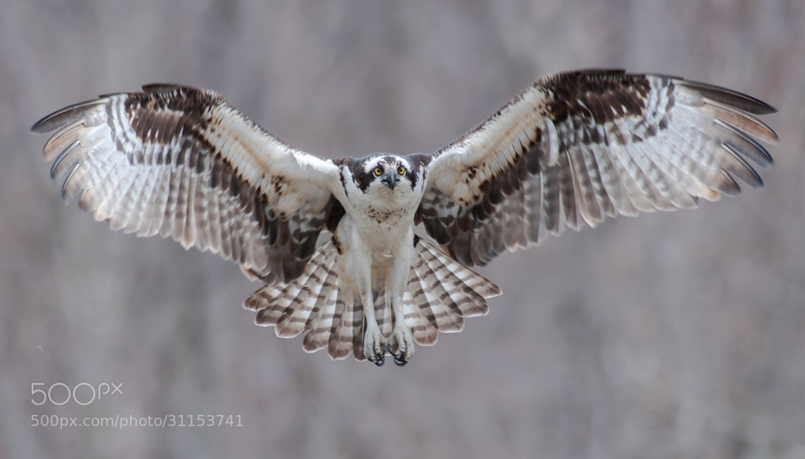 Photograph Osprey Hover by Kristofer Rowe on 500px