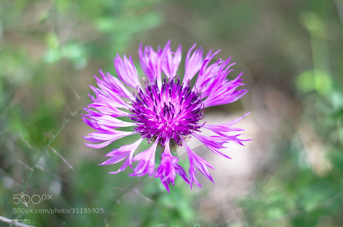 Photograph Thistle flower by Andrés J. Márquez on 500px