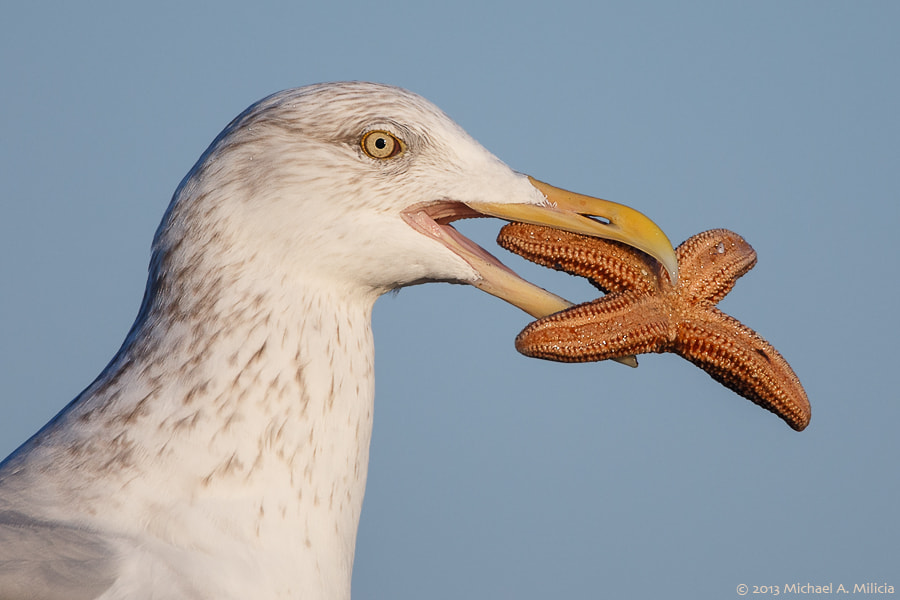 Photograph Herring Gull : Barnegat Light, NJ by Michael Milicia on 500px