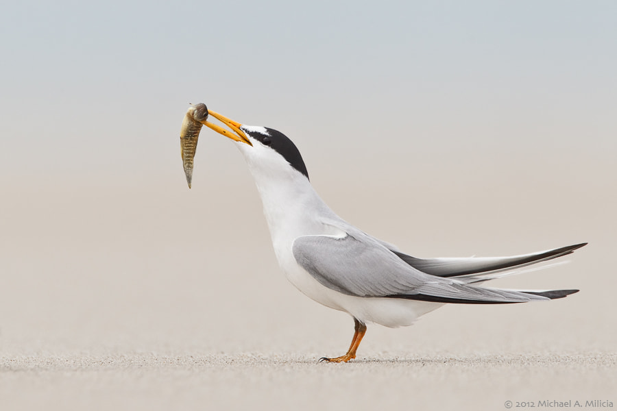 Photograph Least Tern by Michael Milicia on 500px