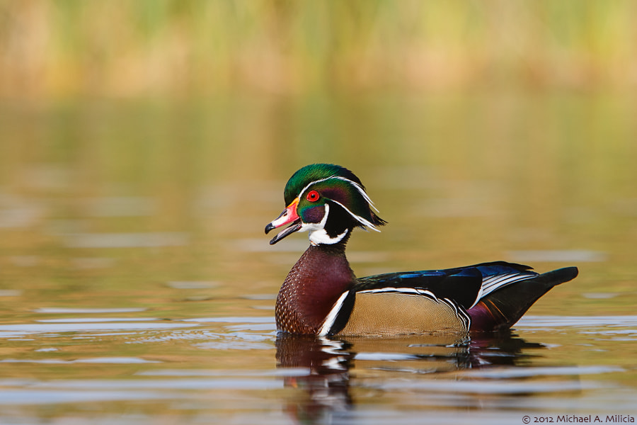 Photograph Wood Duck : Santee Lakes : Santee, CA by Michael Milicia on 500px