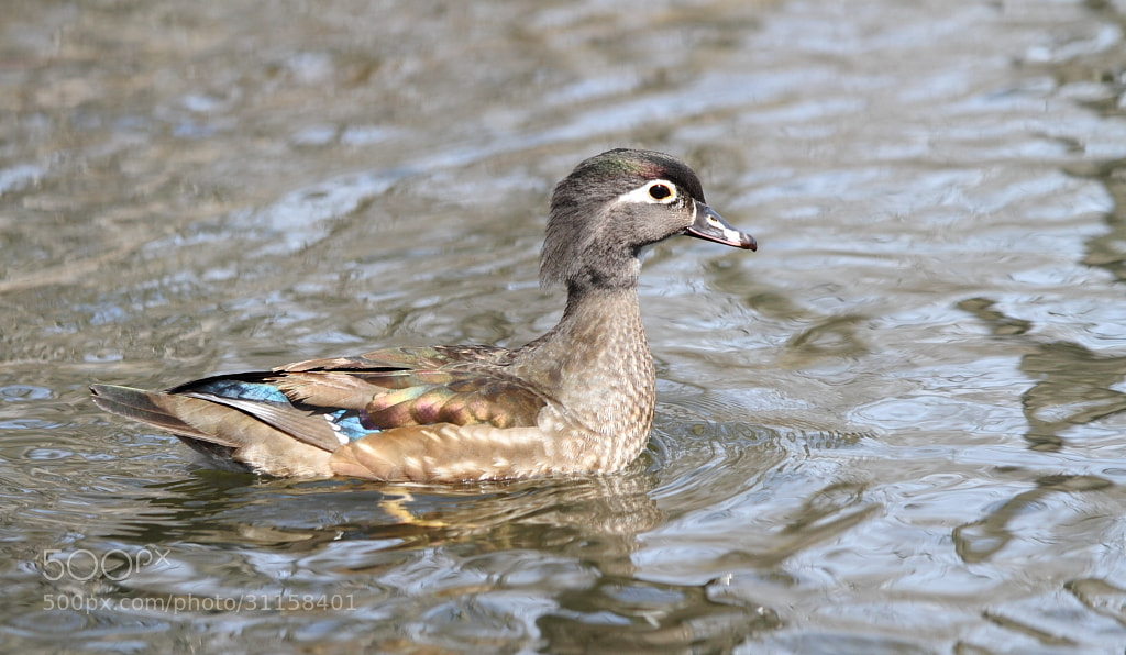 Photograph female wood duck by H Singh on 500px