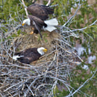 Постер, плакат: Nesting Bald Eagles