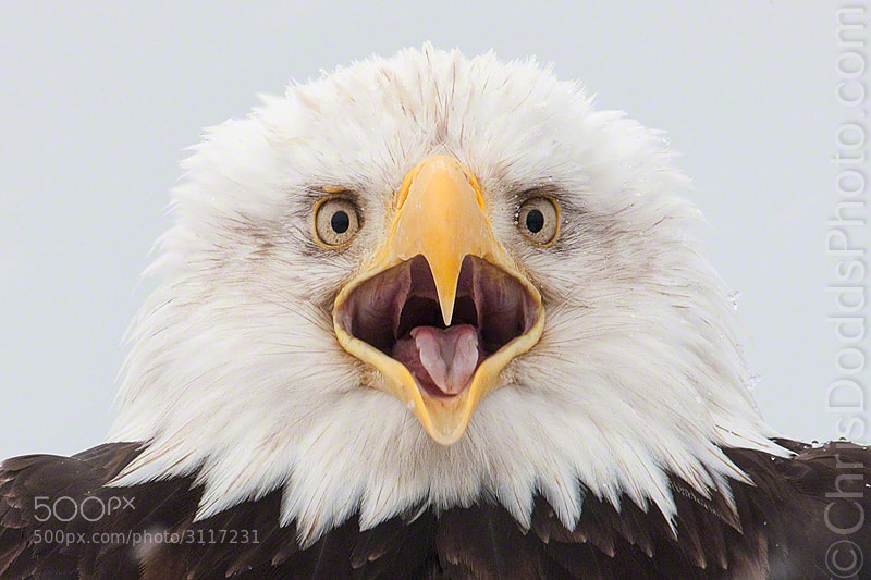 Photograph Screamin' Eagle I by Christopher Dodds on 500px