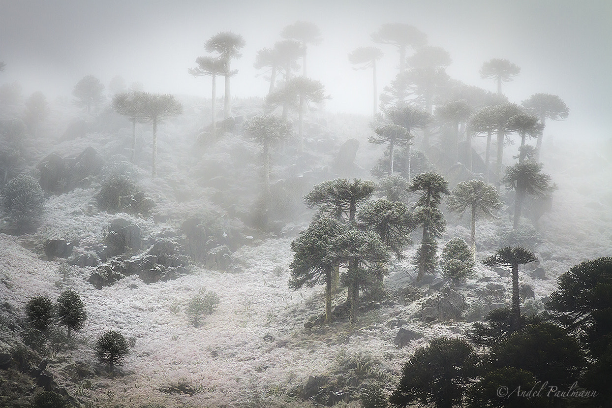 Photograph Araucarias in the first snow by Andel Paulmann on 500px