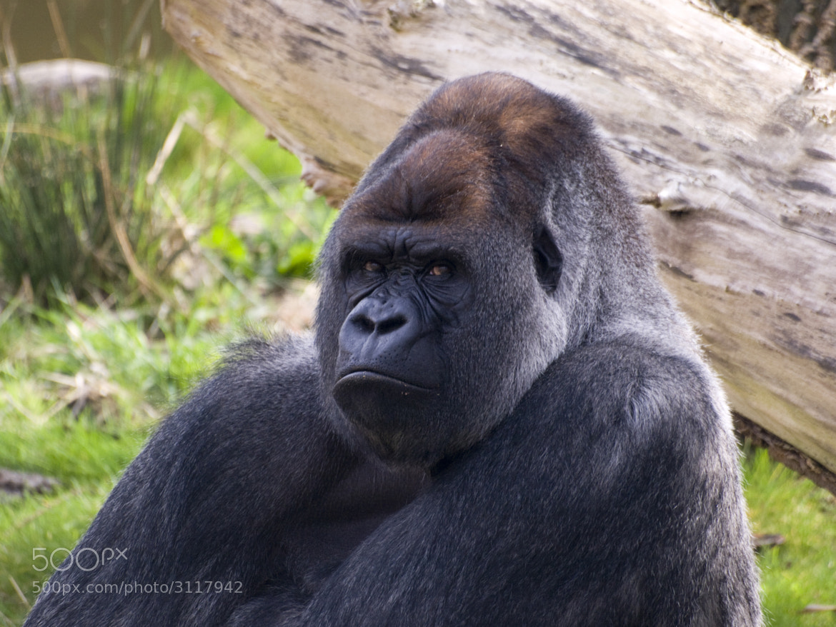 Photograph Bokito looks angry by Patrick van beek on 500px
