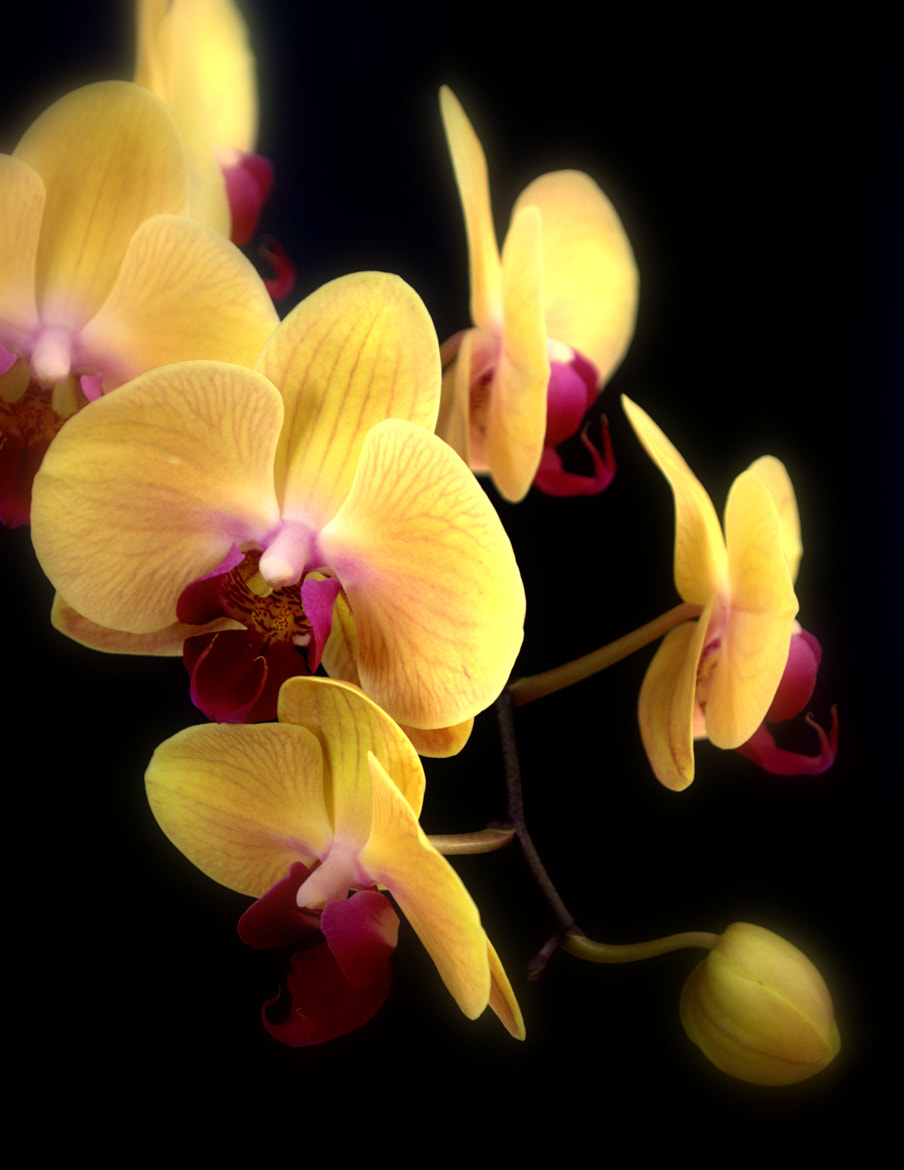 Photograph Yellow Orchid Flowers by Nate A on 500px