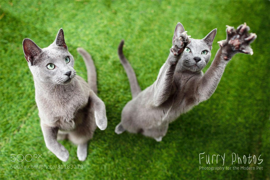 Two beautiful Russian Blues that I had the pleasure of photographing as a gift session! More images from the sesison at http://furry-photos.com/oykt