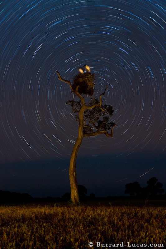 """A 40-minute exposure of a pair of Jabiru Storks asleep in their nest. This shot was taken in the Pantanal, Brazil. We lined up the nest with the southern celestial axis of rotation and illuminate the birds with a dim lamp. If you are interested in joining me on a photo tour to the Pantanal in July 2012, find out more here: http://bit.ly/photo-tours  - More <a href=""""http://www.burrard-lucas.com/pantanal/"""">Pantanal photos</a>"""