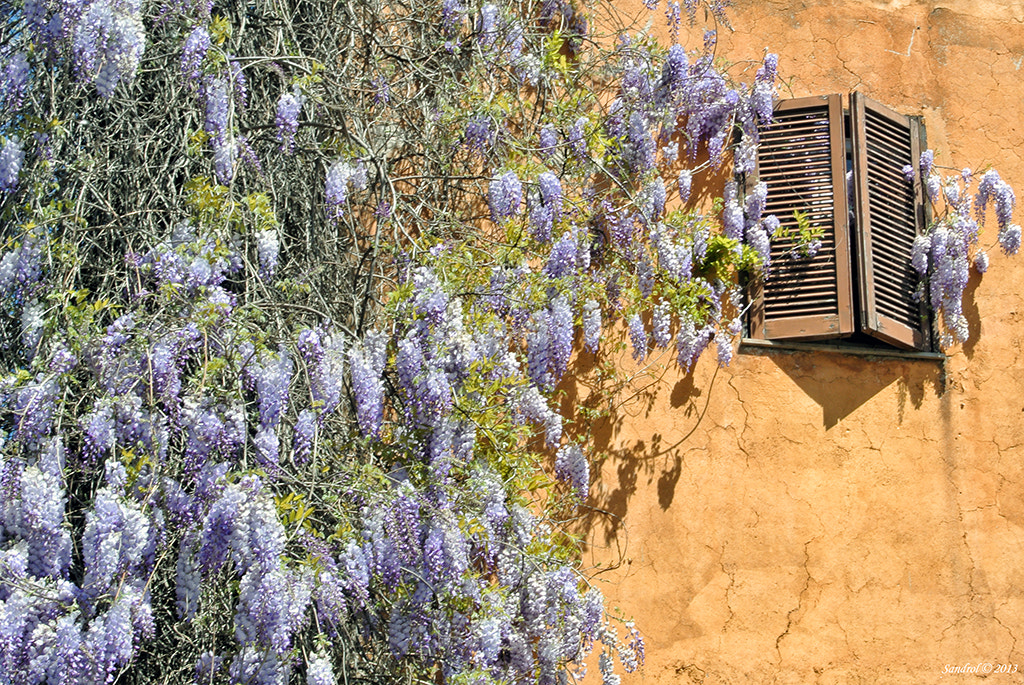 Photograph The nature knocks on the window (wisteria flowers) by Sandro L. on 500px