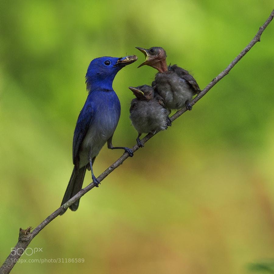 Photograph Black-naped Blue Flycatcher - Male by SIJANTO NATURE on 500px