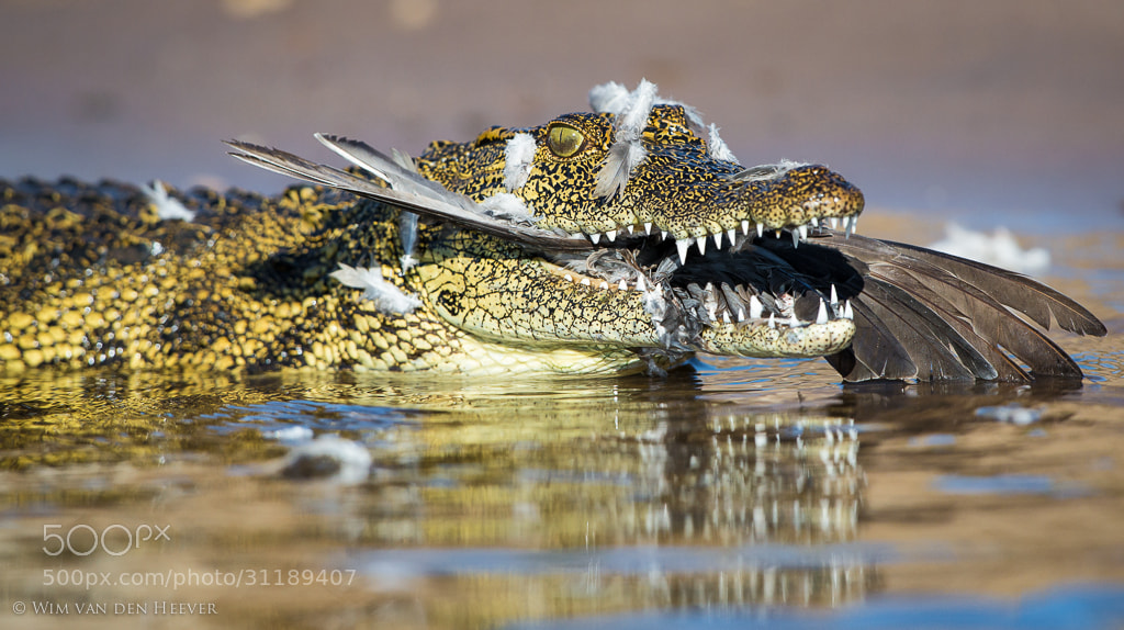 Photograph Crocodile Meal by Wim van den Heever on 500px