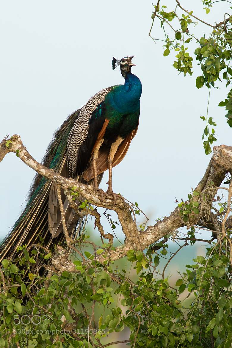 Photograph Indian Peafowl by Milan Zygmunt on 500px