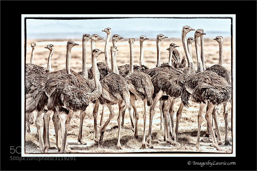 34 Female Ostriches (Amboseli National Park, Kenya)