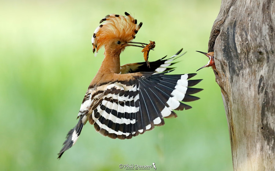 Hoopoe action by Phil Davson on 500px.com
