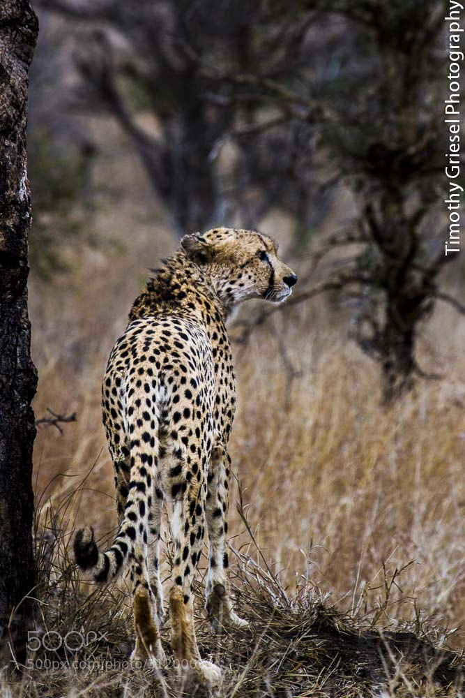 Photograph Long Stare by Timothy Griesel on 500px