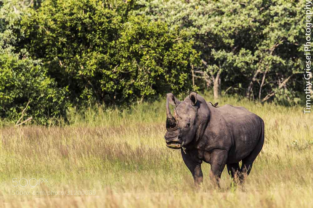 Photograph Chewing the Cud by Timothy Griesel on 500px