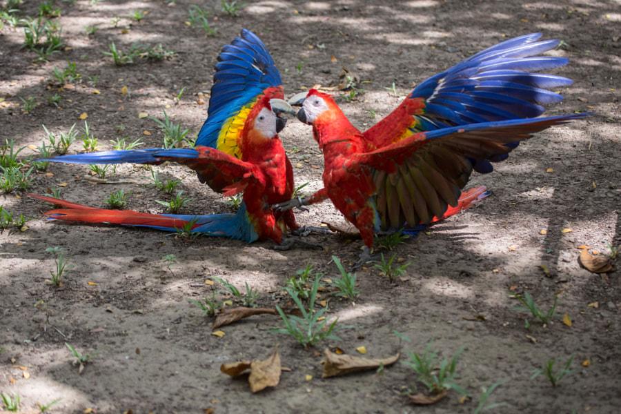 Kug Fu Macaw Style