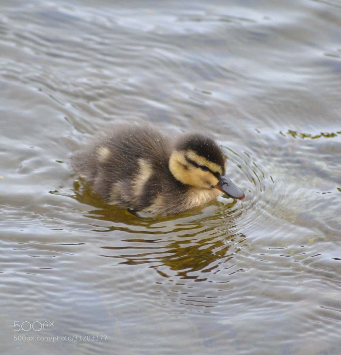 Photograph Duckling by Heather Aplin on 500px