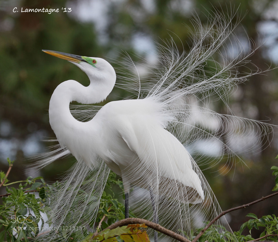 Great Egret in breeding plumage displaying to attract a mate.