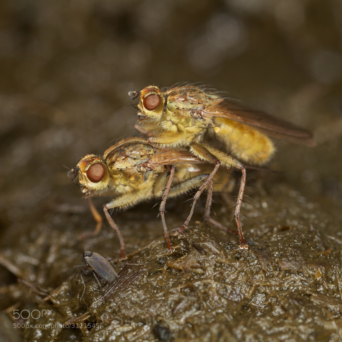 Photograph Yellow Dung Fly by Oliver Aaron on 500px