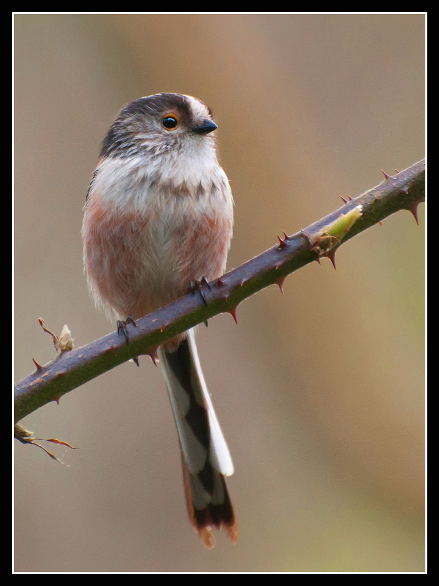 Photograph Long Tailed Tit by Jonny Andrews on 500px