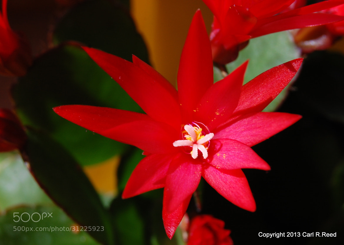 Photograph 4140-cati flower by Carl Reed on 500px
