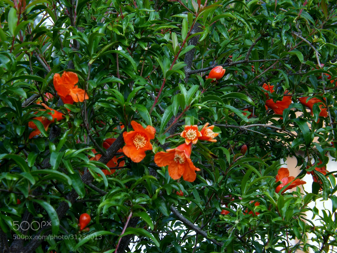 Photograph Pomegranate blooms by Shirley Johnson on 500px
