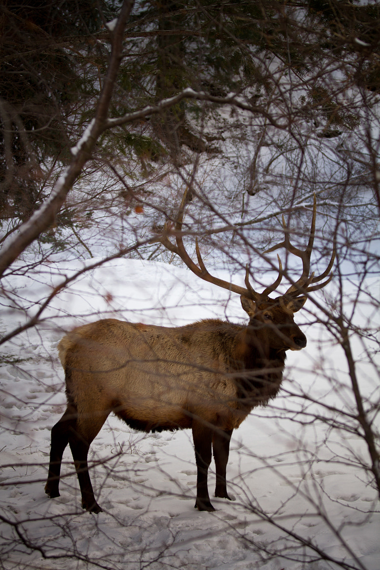 Photograph Elk by Brian Makanoa on 500px