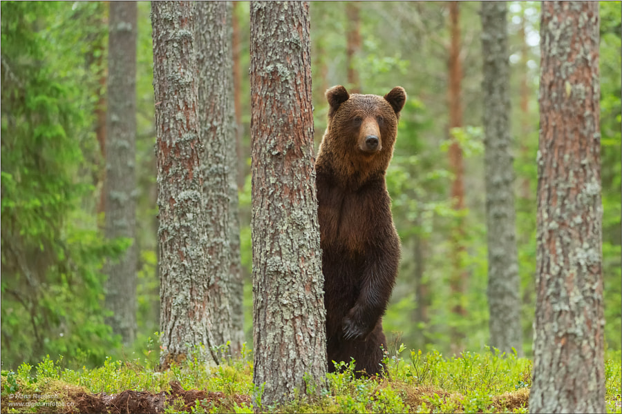 Brown bear by Hans Rentsch on 500px.com