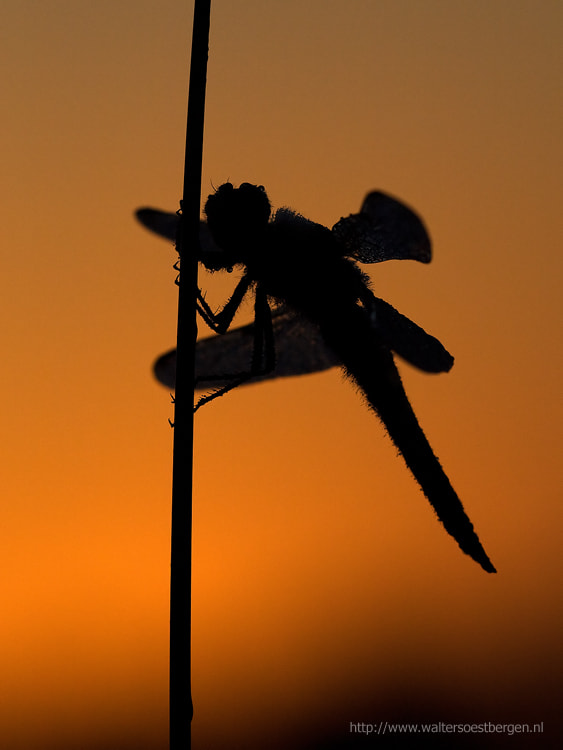 Photograph Dragonfly by Walter Soestbergen on 500px