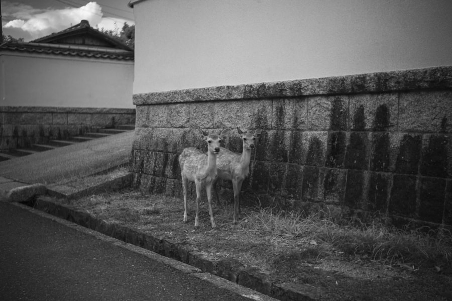Deer walking around the town by Hiro .M on 500px.com
