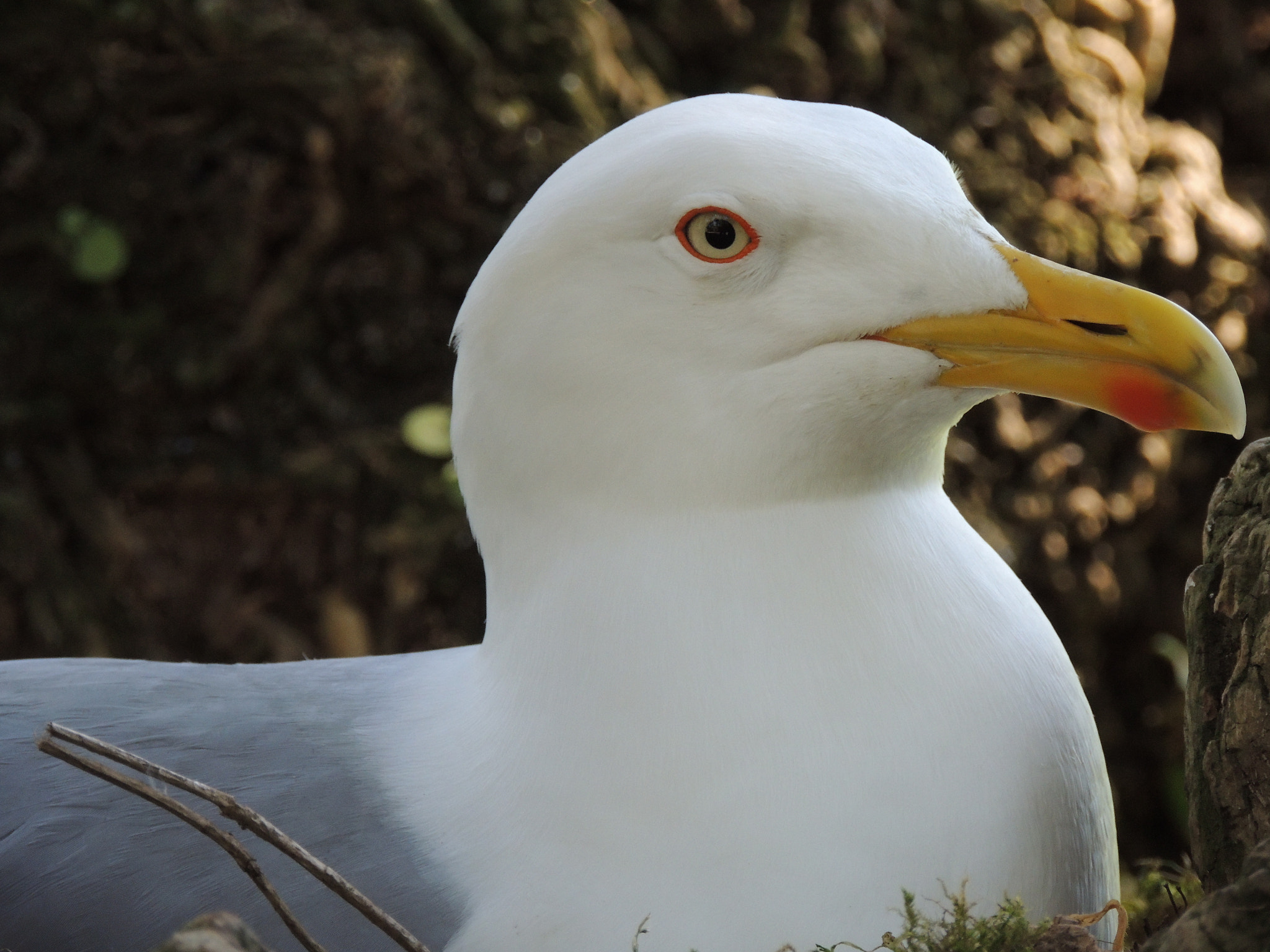 Photograph Gabbiano reale (Larus michahellis) by Manuela Stacchiotti on 500px