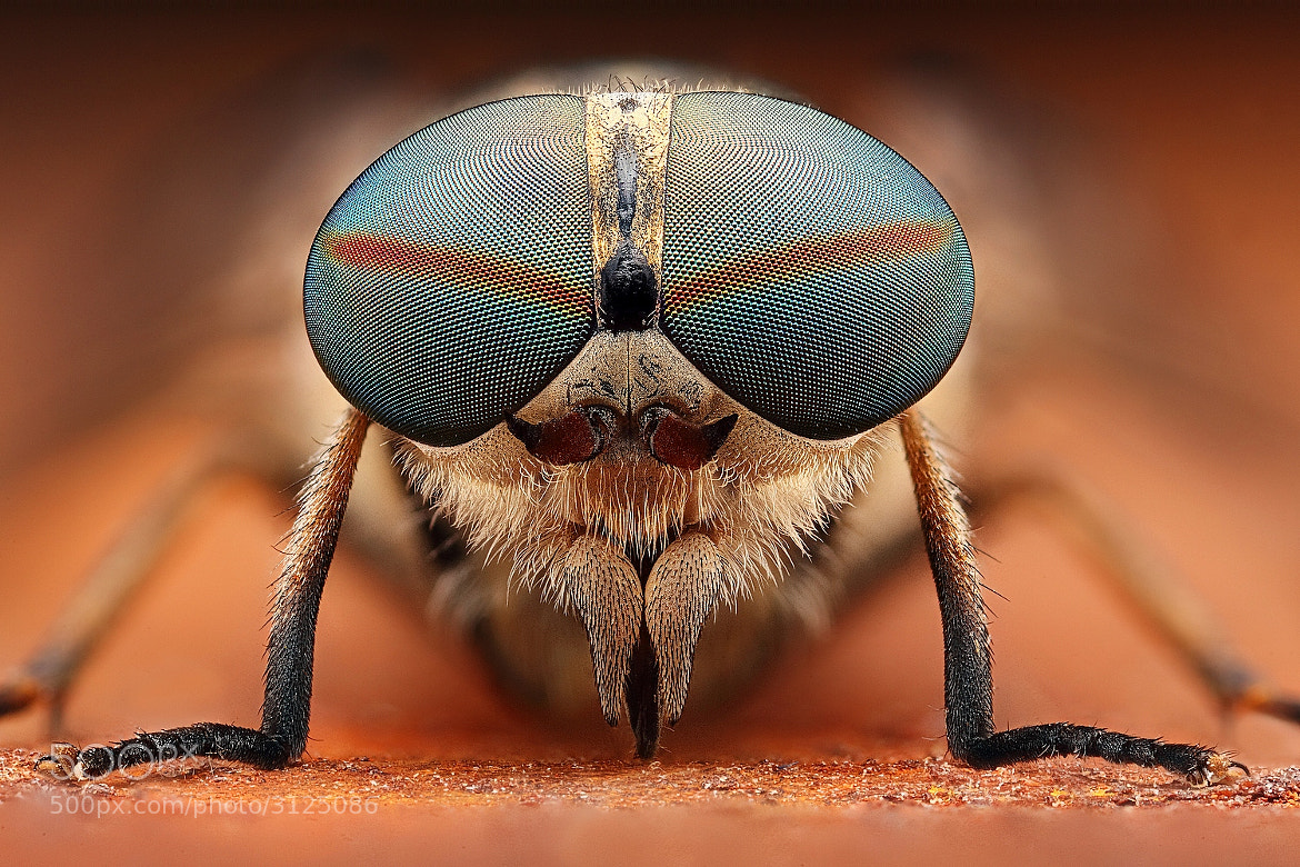 Photograph horsefly by Kvejlend (Dusan Beno) on 500px