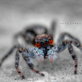 Giant  jumping spider!
