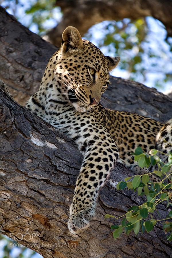 Photograph Leopard portrait by Jochen Van de Perre on 500px