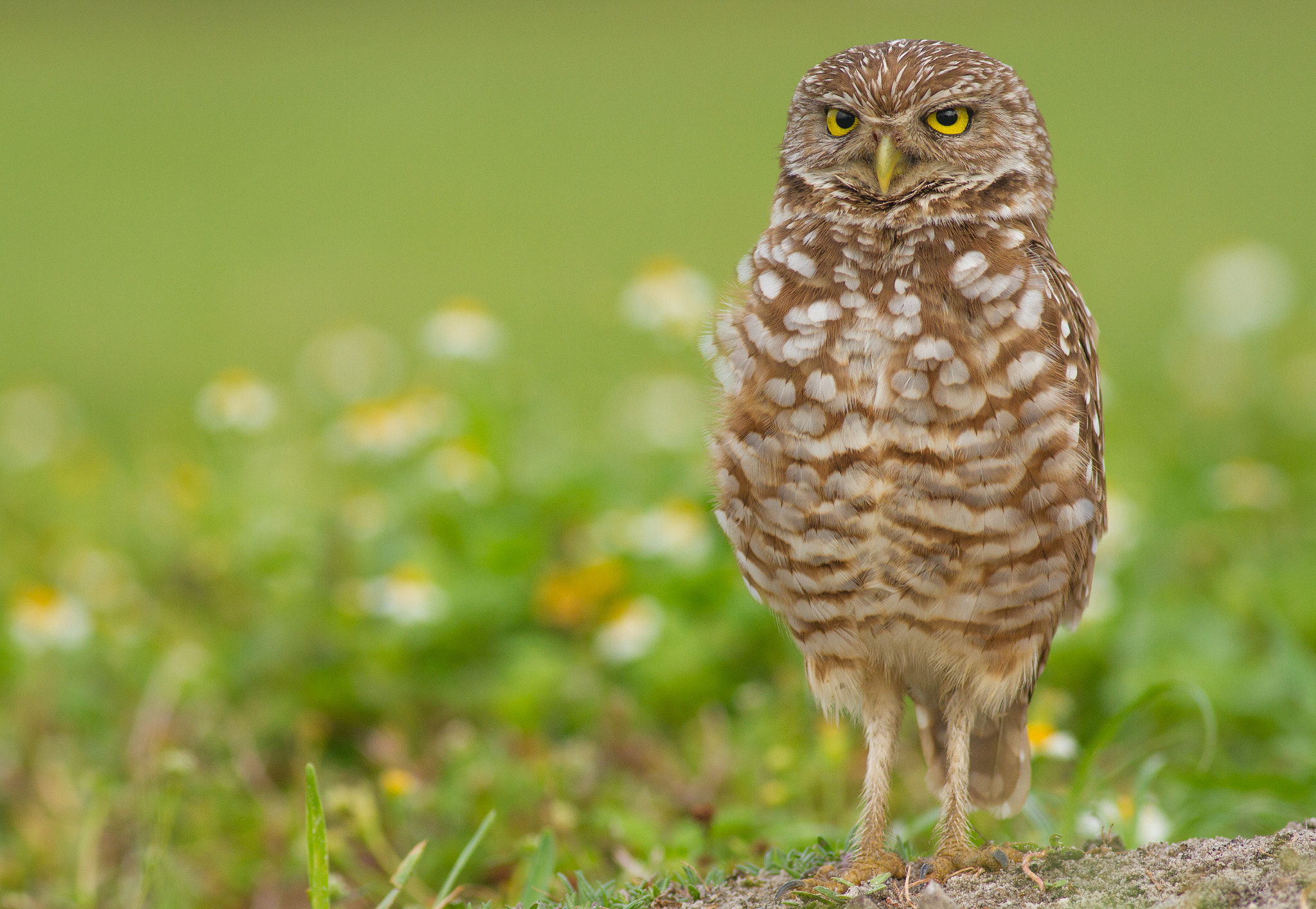 Photograph Burrowing Owl by Phillip Simmons on 500px
