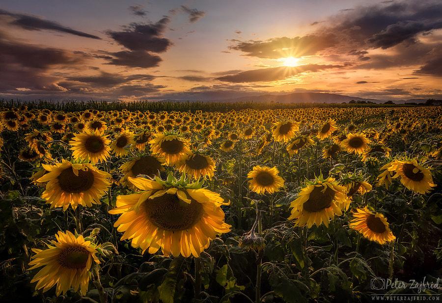 Sunflower sunset by Peter Zajfrid