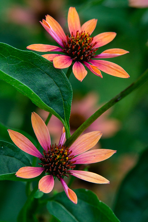 Cone Flower #5 by Joel Hammond