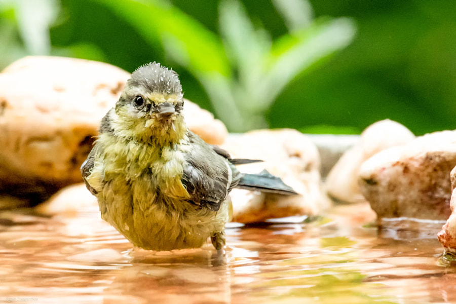 Blaumeise/Blue Tit Having a bath by Sigrun Brggenthies