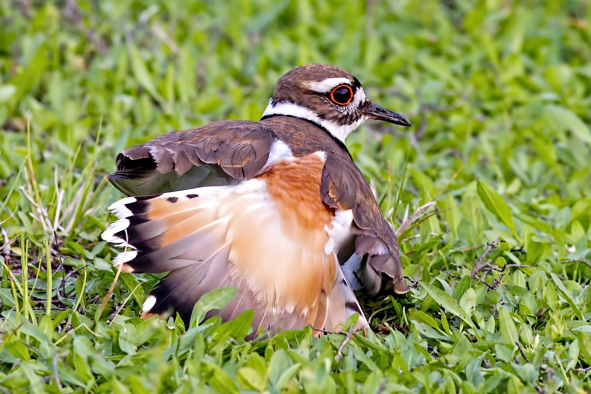 Photograph Killdeer 2 Sleight of Wing by Gary Holmes on 500px