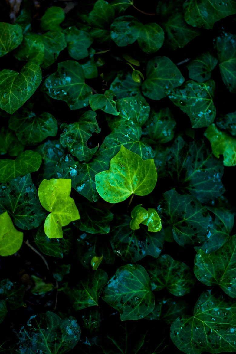 Photograph Ivy by Stephen s on 500px