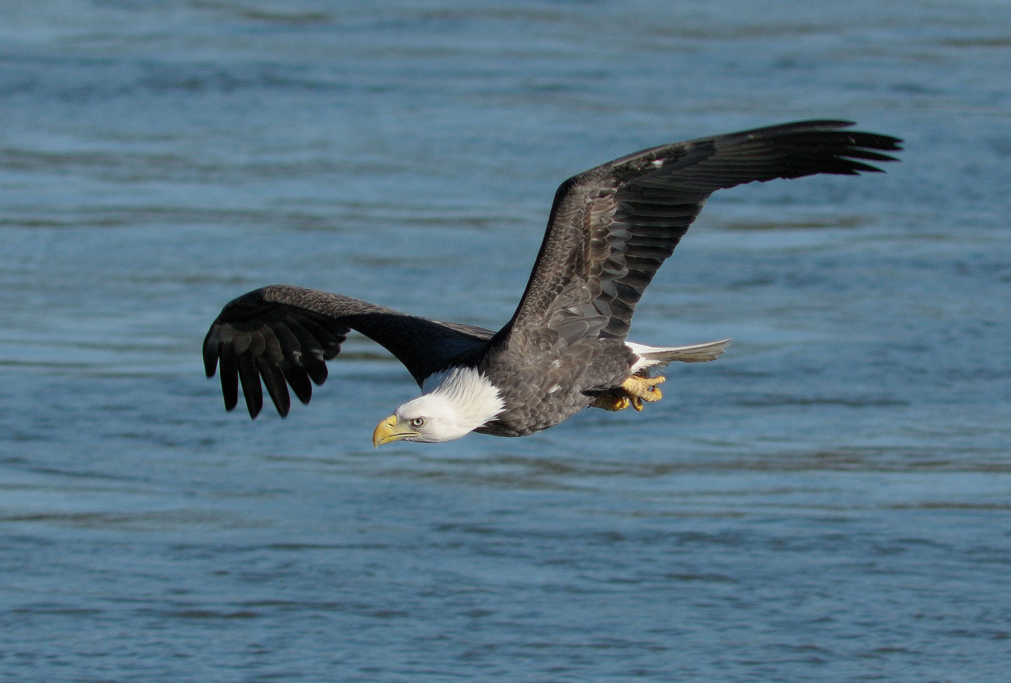 Photograph American Bald Eagle by Mark Schwall on 500px