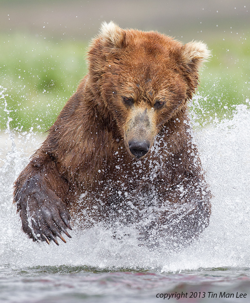 Photograph Bear Pouncing by Tin Man on 500px